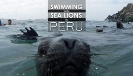 Swimming With Sea Lions In Peru