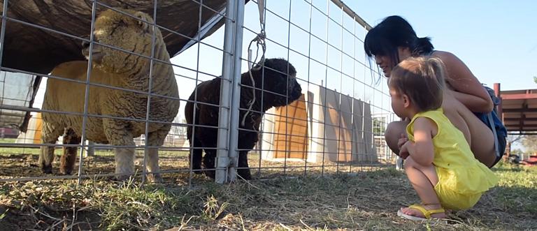 Amy's Farm Baby Sheep