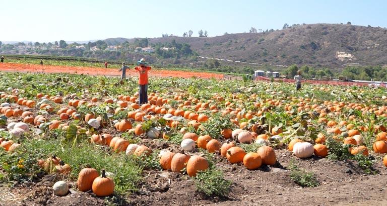 Tanaka Farms Pumpkin Patch field 2020
